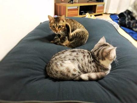 ヨギボーのビーズクッションドギボーでダメになる猫